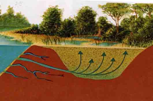 «Песчаный кузен» трясины