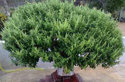 Священное растение у индийцев