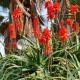 Комнатное растение, чьим соком снимают воспаление десен