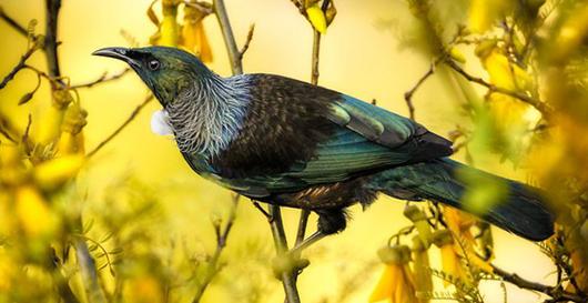Лучшая певчая птица Океании
