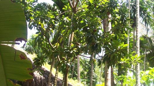 Тропический плод, чьим соком врачи тромбоз побеждают