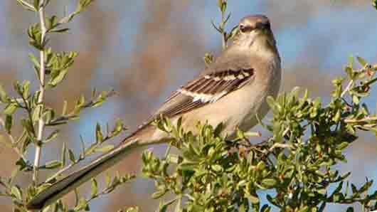 Какая птица стала символом Техаса