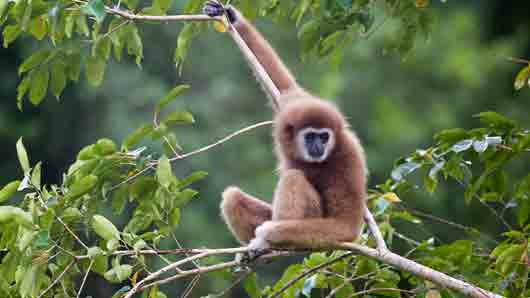 Какая обезьяна, перепрыгивая с ветки на ветку, обгоняет бегущего человека