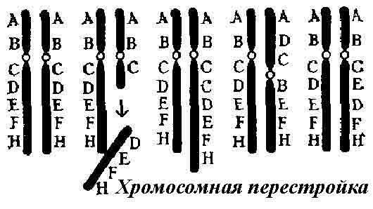 Хромосомная перестройка