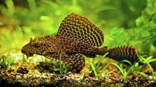 «Парчовая» рыбка из аквариума