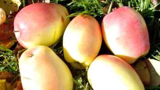 «Крымские яблоки»