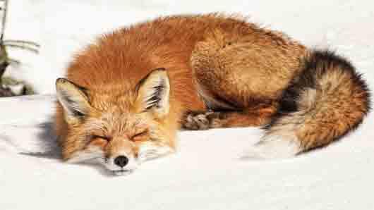 Самый опасный и непримиримый враг для лисицы