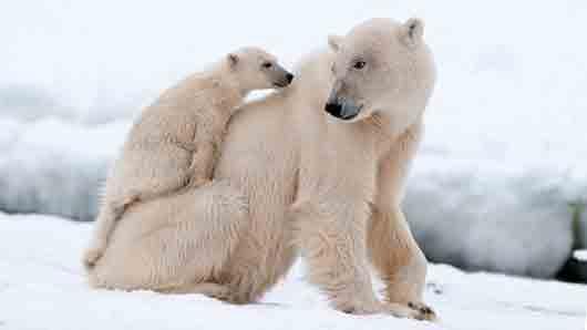 «Чем дольше полярная …, тем красивее белые медведицы»