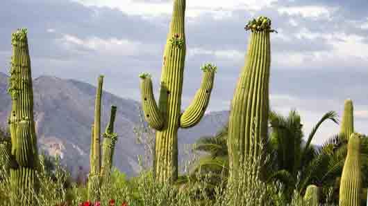Какие кактусы украшают в пустыне Сонора на Рождество за неимением елок