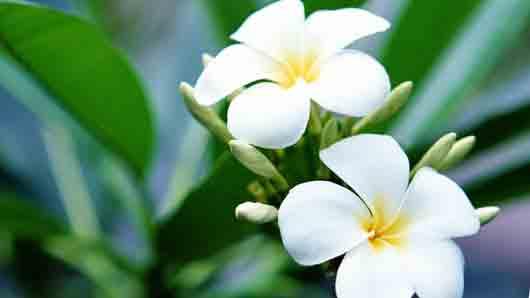 Какой цветок стал символом Полинезии