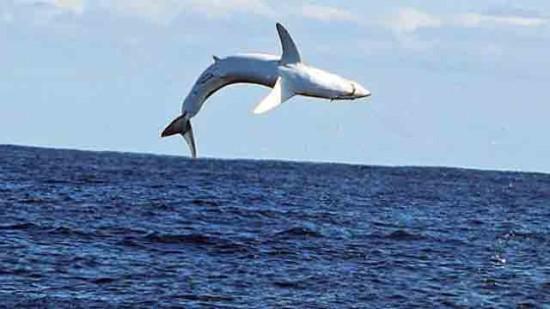 Акула, выпрыгивающая из воды на 6 метров