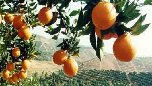 Сладкий апельсин без косточек