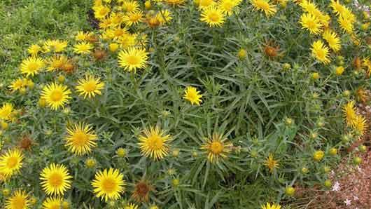 Лекарственная трава, чьи желтые цветки заваривают, чтобы лечить простудный кашель