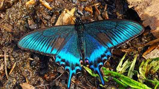 «Лучшая английская бабочка» из книги «Слишком поздно» Алана Милна