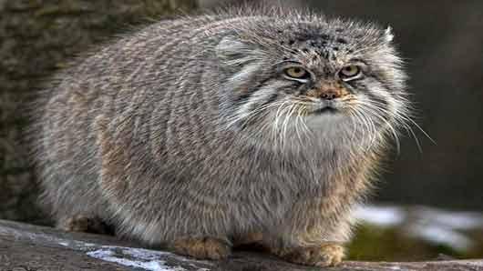 Самая большая кошка на свете