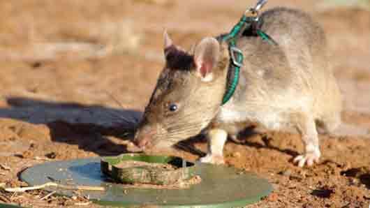 В какой стране дрессированные крысы взрывчатку ищут