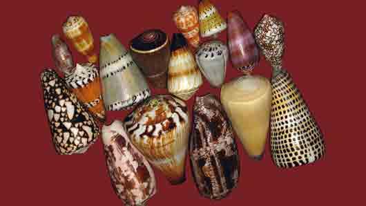Моллюск с коллекционной раковиной