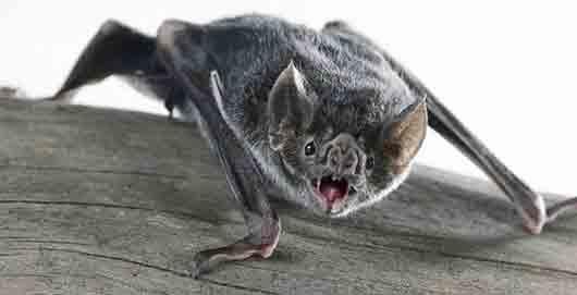 Как называется единственная летучая мышь, способная взлетать с земли?