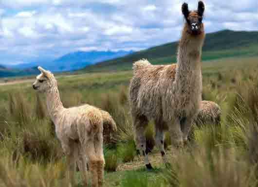 Предок одомашненной ламы