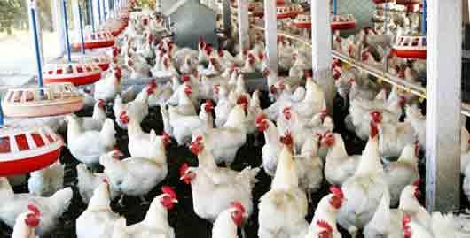 «Фабрика яиц»