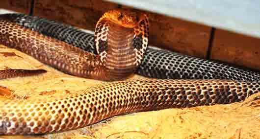 Самая популярная кобра у индийских факиров