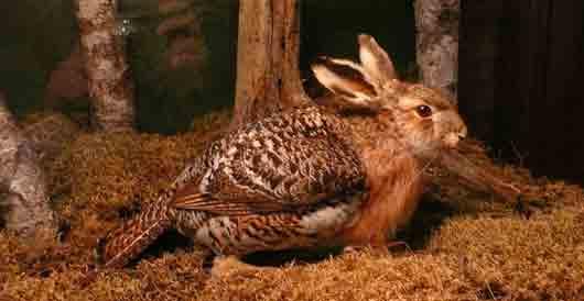 """Швед Рудольф Гранберг """"вывел"""" ради шутки сквадера - помесь зайца с глухарем"""