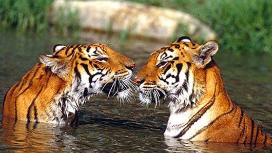 Где князь Андрей из рассказа «Картина» Александра Куприна на тигров охотился