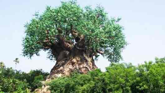 Благородное дерево, чьими листьями шлаки из организма выгоняют