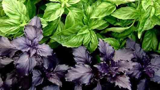 «Фиолетовая зелень» в салате