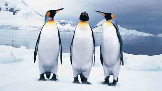 «Грудной горб» у пингвина