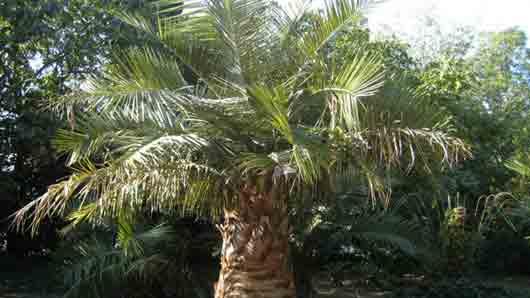 Слоновая пальма