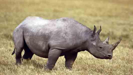 Кем может быть носорог, если он не зверь и не птица