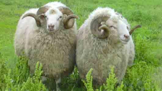 Прибыль с овцы