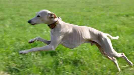 Кто сопровождает «каждый зевок длинным тонким визгом» в рассказе «Собачье счастье» Александра Куприна