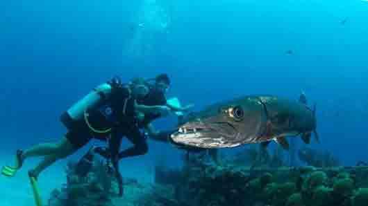 Морская щука, нападающая со скоростью торпеды