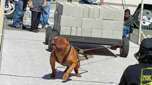 Состязания среди собак по перетаскиванию тяжестей