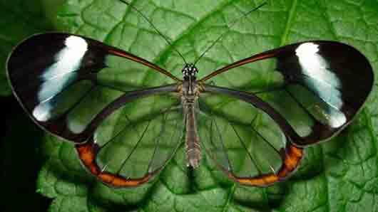 «Почти прозрачная» бабочка
