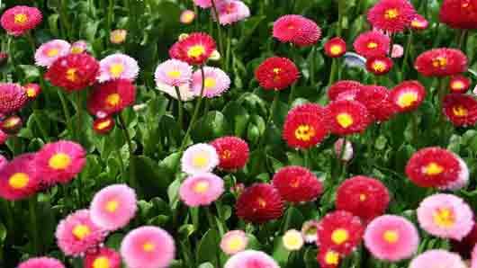 Что символизирует маргаритка на языке цветов