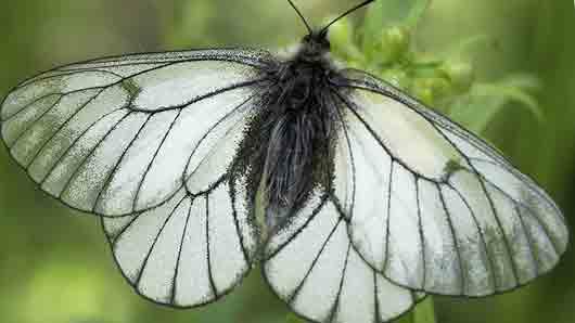 Чуть ли не самая массовая из дневных бабочек