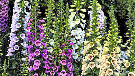 Из какого растения получили яд, которым убивают во время игры в покер из фильма «Казино Рояль» про Джеймса Бонда