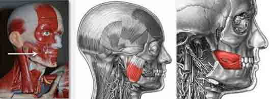 za-kakuju-reakciju-otvechaet-musculus-risorius