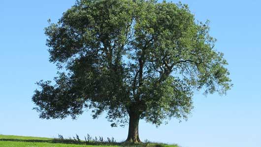 Из какого дерева скандинавские боги сотворили первого мужчину