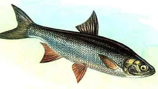 Карповая рыба жерех