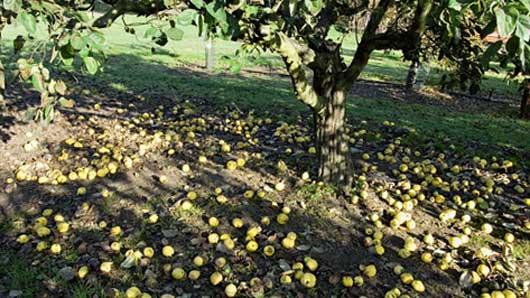 Плоды, упавшие с веток