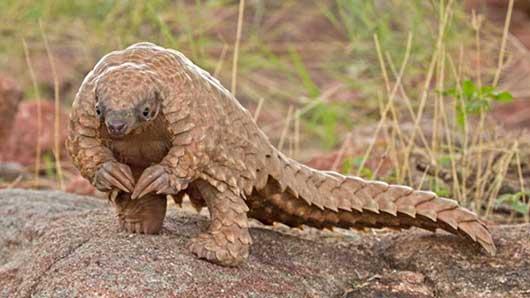 Современный ящер в черепицеобразной чешуе