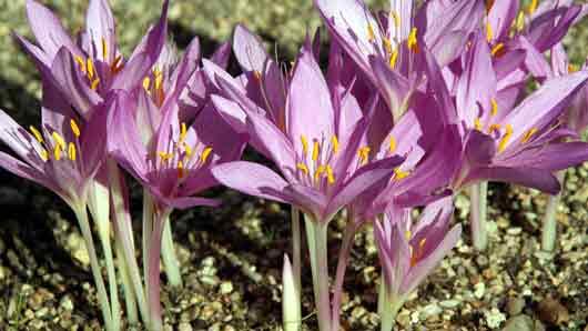 Цветок из Северной Америки, чьим соком индейцы прежде разрисовывали себе лица