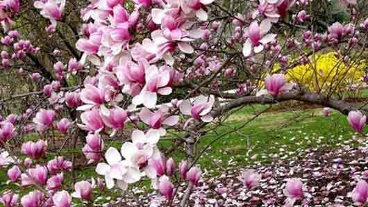 Каким деревом любовались в Японии до того, как вошла в моду сакура