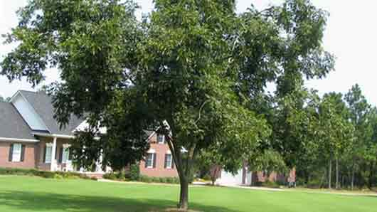 Какое дерево стало символом Техаса