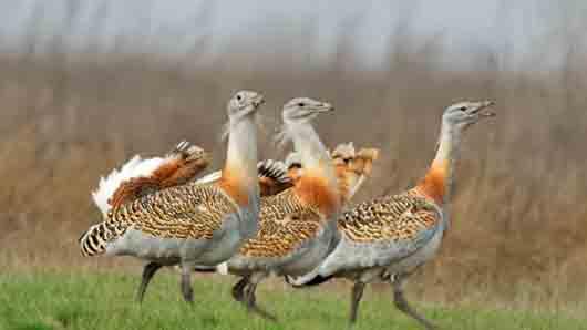 Какую птицу прозвали «степным великаном»