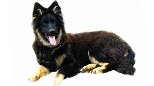 Порода служебных собак в родне у овчарок